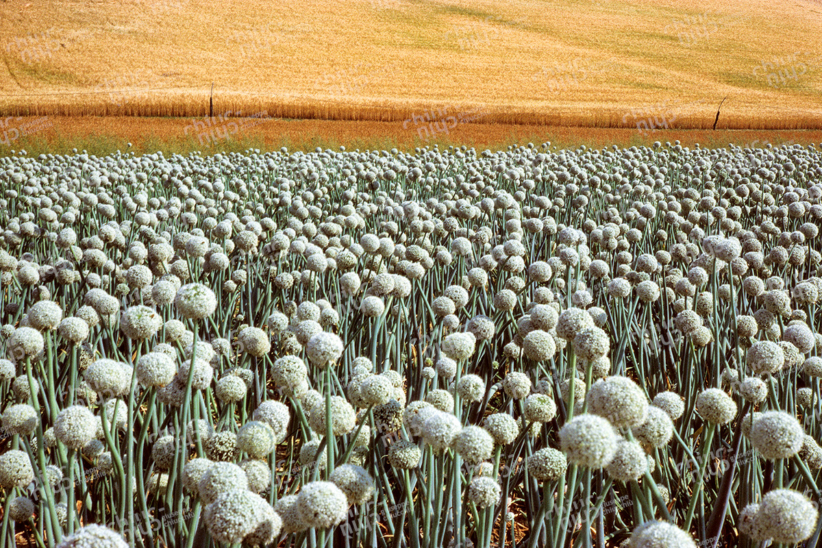 Italy - Countryside Onion field
