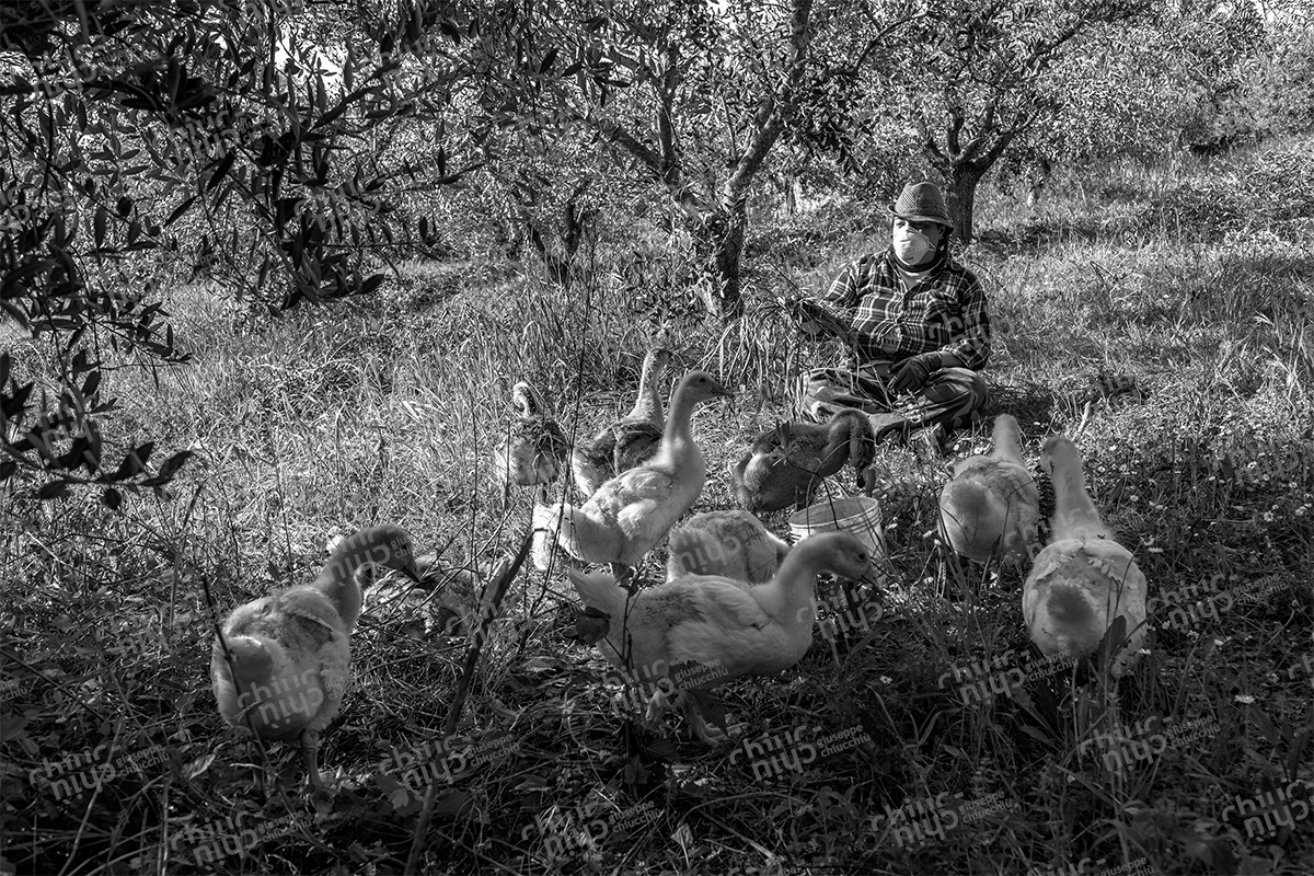 Italy - Farmer with geese in the period of coronavirus