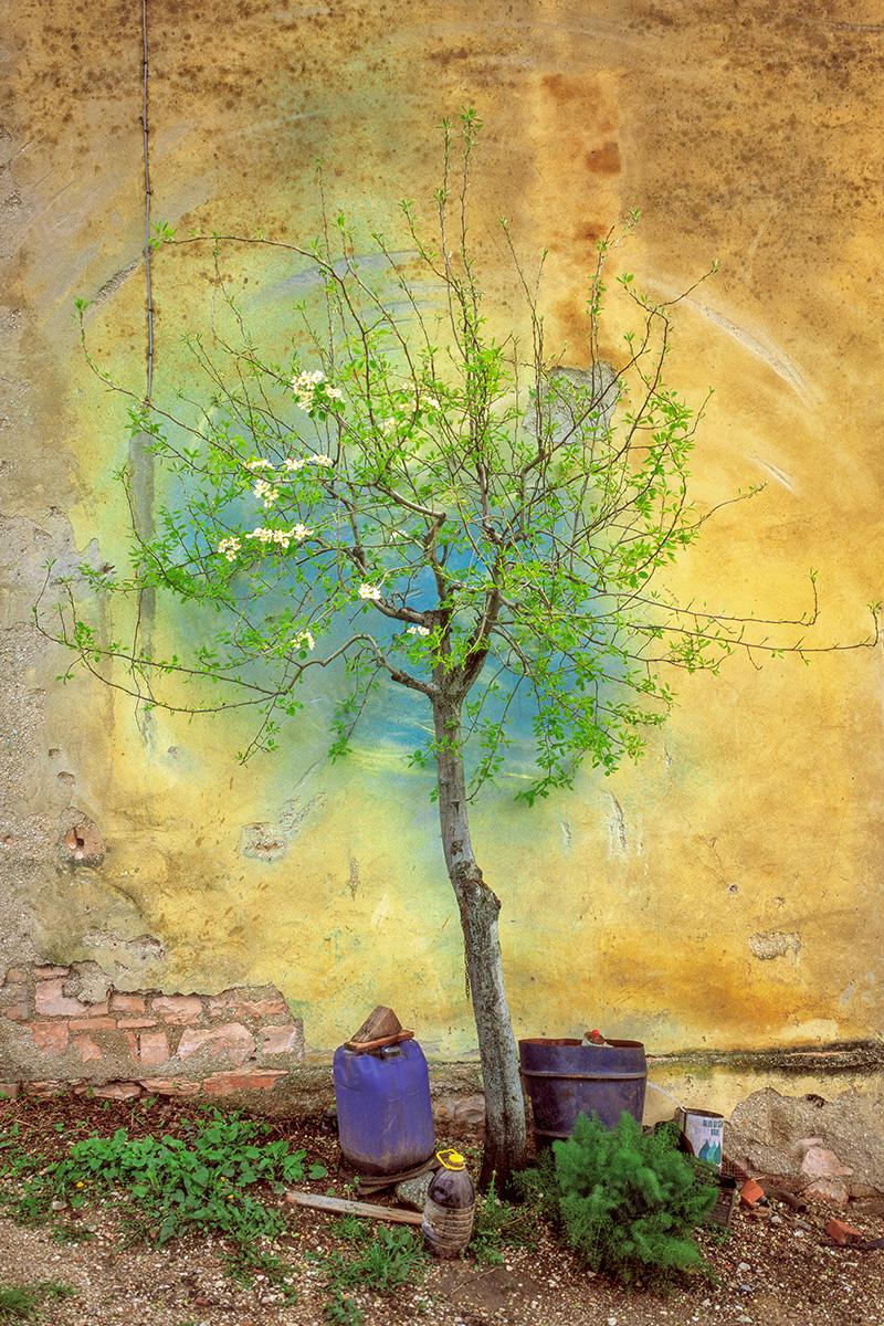 Italy - Pear tree