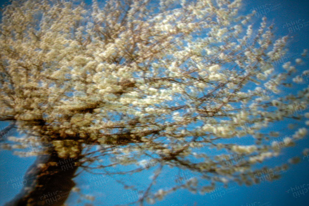 Italy - Cherry tree in the wind