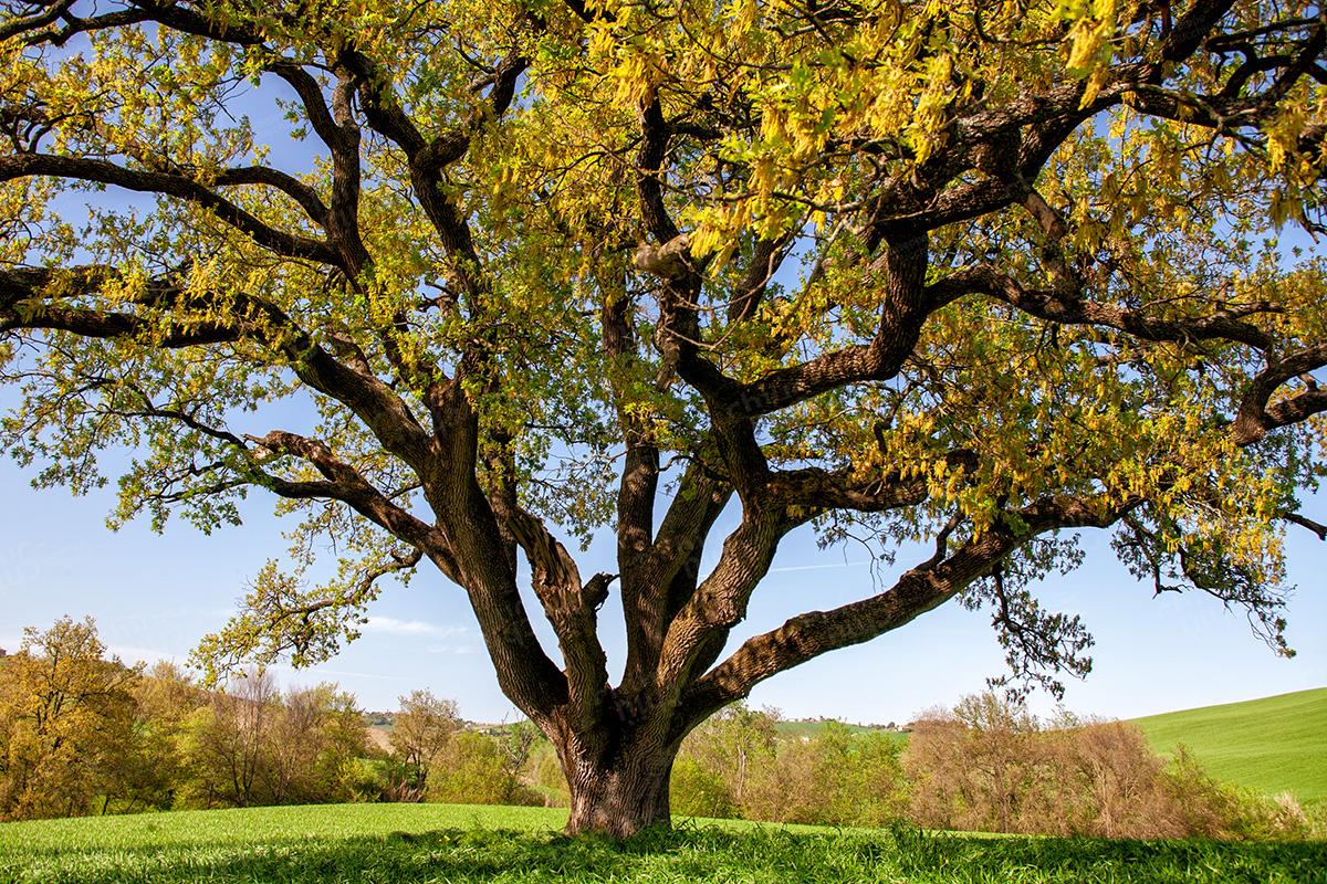 Italy - Centuries-old oak