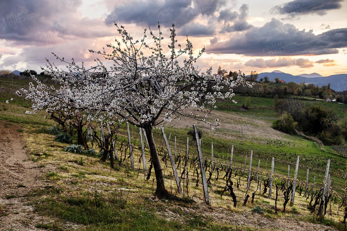 Italy - Cherry tree