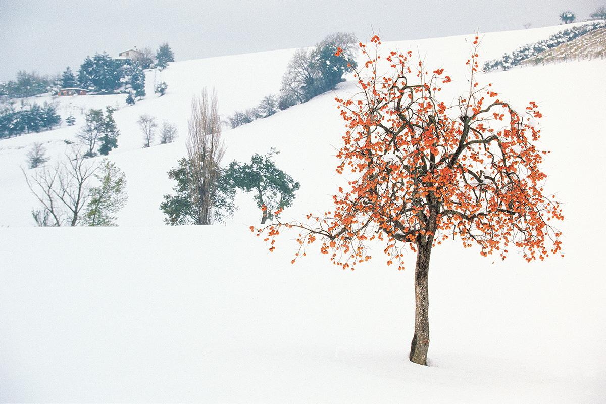 Italy - Marche Cachi tree